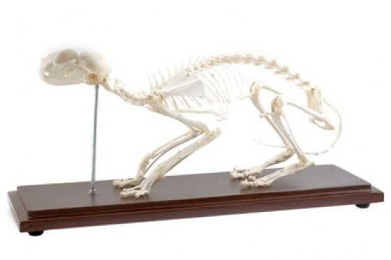 osteologie-animale